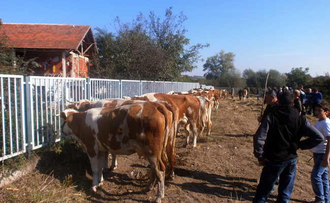 bojnik-izlozba-krava-005