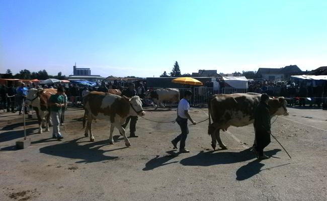 bojnik-izlozba-krava-012